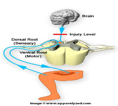 dorsal horn spasticity reflex spinal cord injury